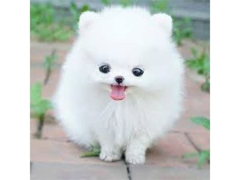 pomeranian husky puppy things you need to before buying a pomeranian husky berkeley ca patch