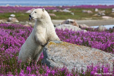 walking with polar bears what s on your list arctic adventure travel