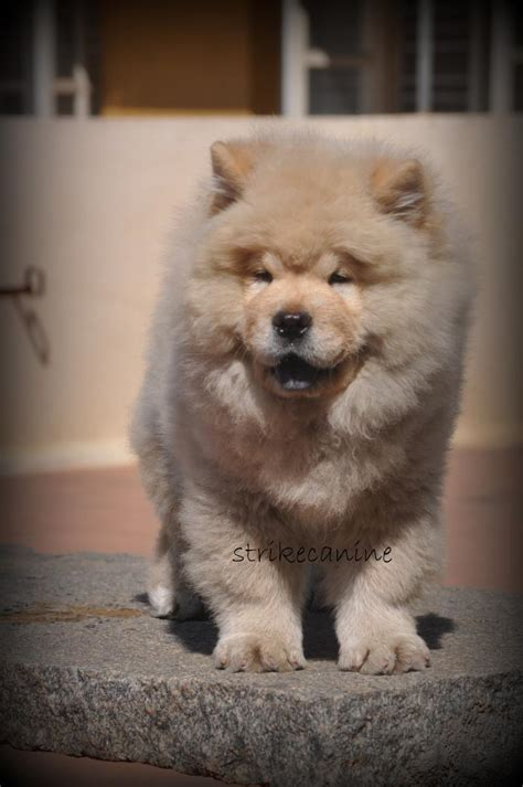 chow chow puppy price chow chow puppies for sale strikecanine 1 12980 dogs for sale price of puppies