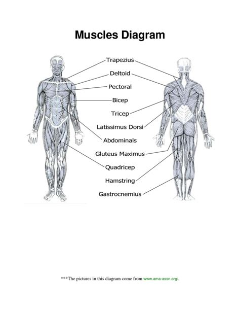 muscles worksheet muscle anatomy worksheet human anatomy diagram