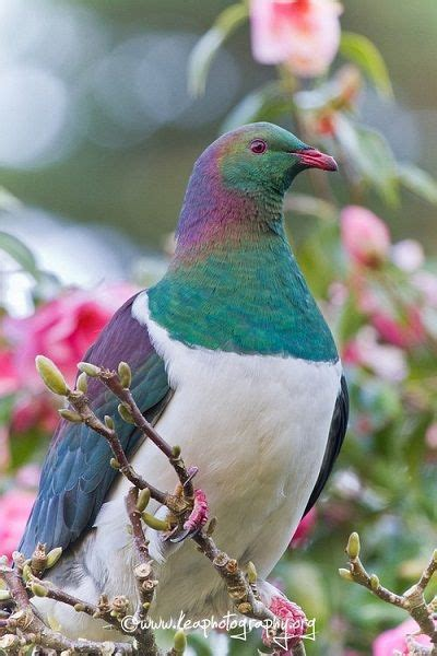 Pigeon 2 Pa pin tillagd av dominique touboul p 229 birds 06 pigeons duvor vackra f 229 glar och f 229 glar