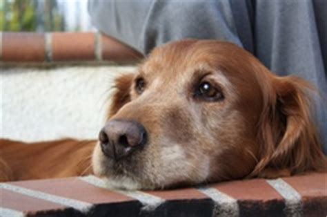 golden retriever cancer rate researchers working to understand high rates of cancer in certain dogs