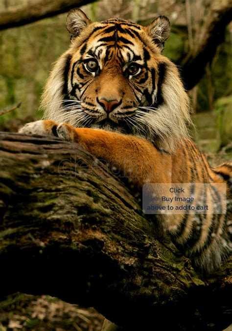 new year animal tiger tiger new year deadline news