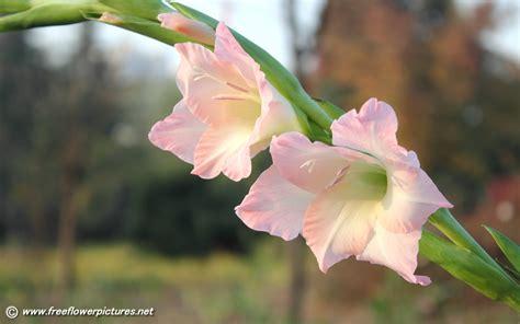 gladiolus flower pictures gladiolus pictures