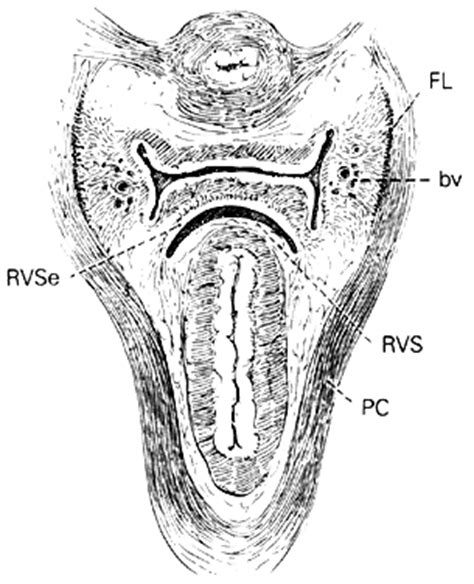 cross section of vagina volume 1 chapter 1 clinical anatomy of the vulva vagina