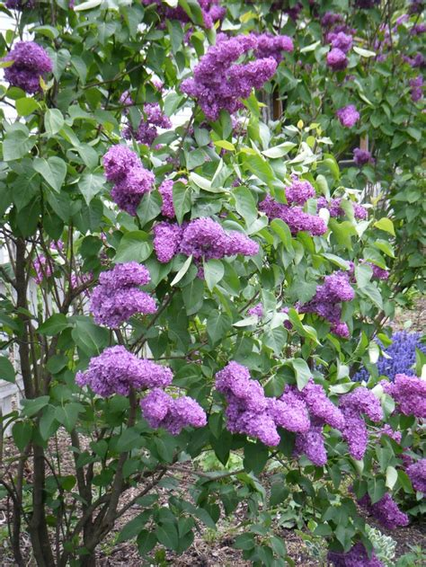 lilacs bush purple lilac bush gardening pinterest