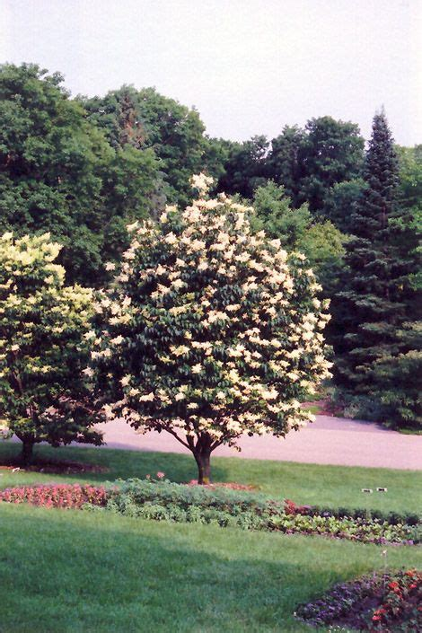 japanese tree lilac creamy white flowers  early summer