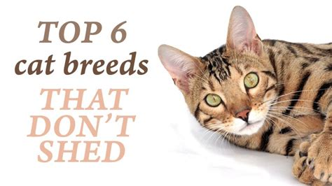 Cat Breeds That Dont Shed by Top 6 Cat Breeds That Don T Shed That Much Catological