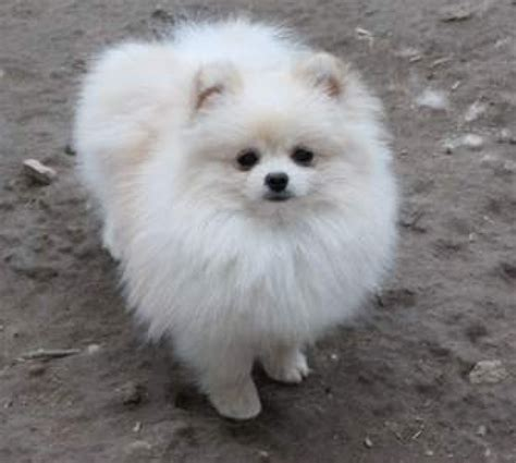 how much are white pomeranian puppies pomeranian puppies white free hd wallpapers