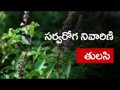 Tulsi Basil To Cure Skin Problems by Amazing Benefits Of Tulsi Basil For Skin Hair And Health