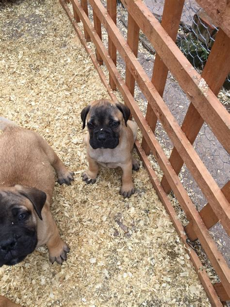 bullmastiff puppy for sale bullmastiff puppy for sale biggar lanarkshire pets4homes
