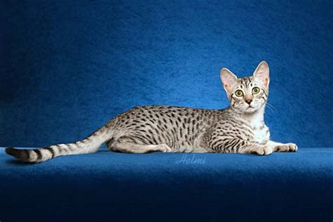 wallpaper egypt cat index of wp content gallery egyptian mau cats