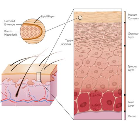 diagram of skin cell schematic diagram of the stages of skin cell