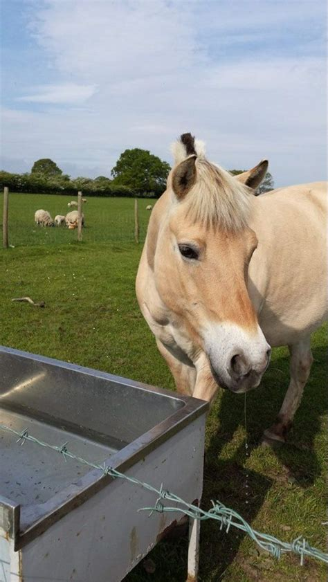 fjord horse for sale uk 2x norwegian fjord horse bishop auckland county durham