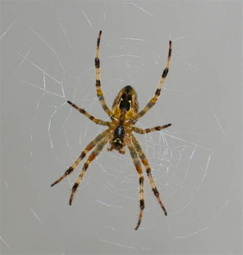pictures of garden spiders