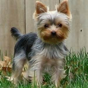 yorkie haircuts pictures only yorkie haircuts pictures only sweet precious yorkie