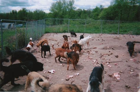 who eats dogs wolf eats breeds picture