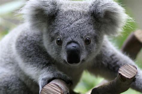 imagenes kawaii de koalas il koala e i pericoli per il suo popolo