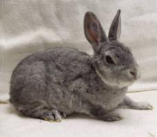 rammler zum decken gesucht zwergrex kaninchen jung und zuchttiere in unna privat