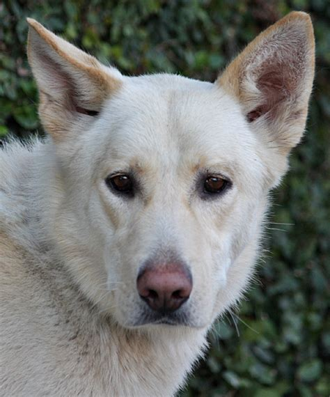free puppies los angeles white german shepherd rescue los angeles dogs in our photo