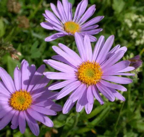 Types Of Garden Plants And Flowers Aster Aster Flower Types Of Aster Flowers Garden Aster