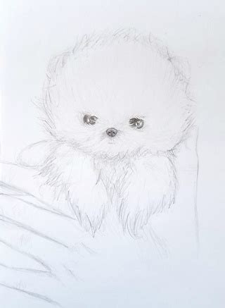 how to draw a pomeranian puppy pomeranian drawings on paigeeworld pictures of pomeranian paigeeworld