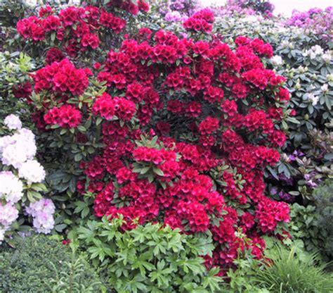 Rhododendron Sonniger Standort by Rhododendron Alpenrose Dehner Garten Center