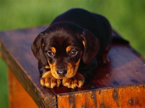 black and coonhound puppy black and coonhound puppy photo and wallpaper beautiful black and coonhound
