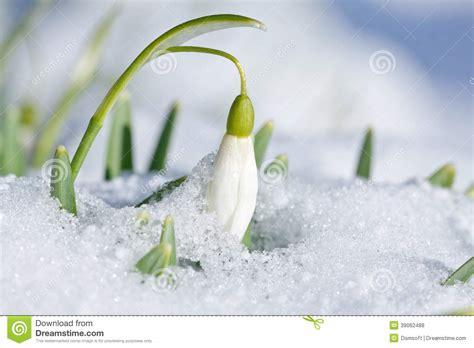 Flowers Free Sul fleur de perce neige avec la neige dans le jardin photo
