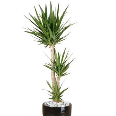 plant info yucca indoor plant hire tropical plant rentals