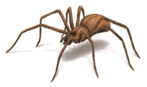 Do House Spiders Bite by Is It A Brown Recluse Spider Bite Do You What To Look For Home And Health