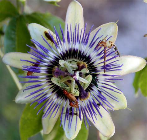 passiflora fiore della passione fiore della passione 28 images fiore della passione