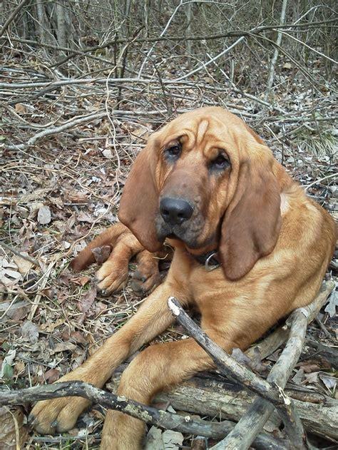 bloodhound puppies bloodhound puppy buford s kin