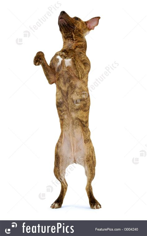 pets standing dog stock image   featurepics