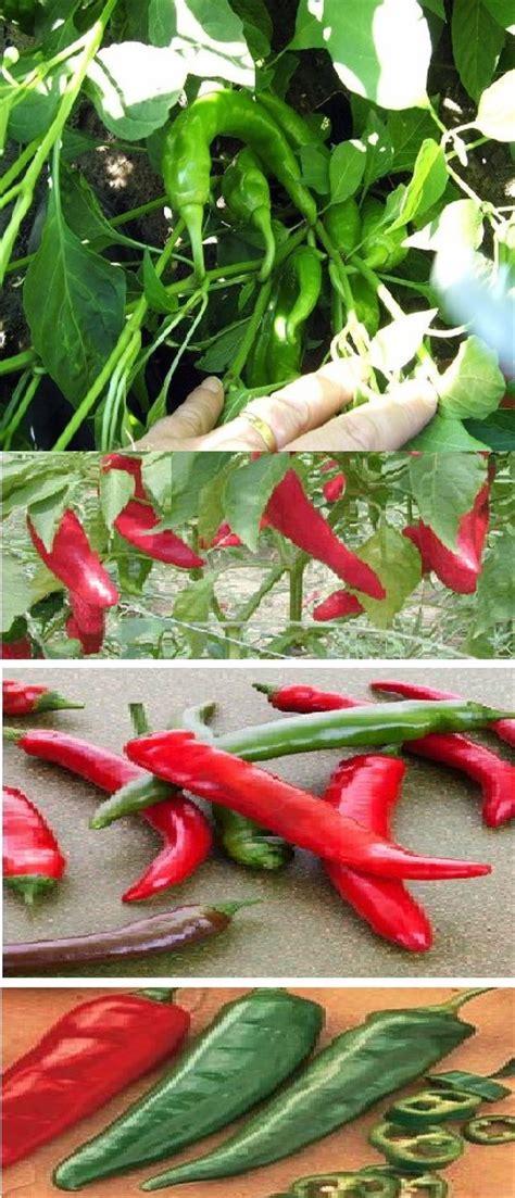 Garden Salsa Pepper by Garden Salsa Pepper Plant