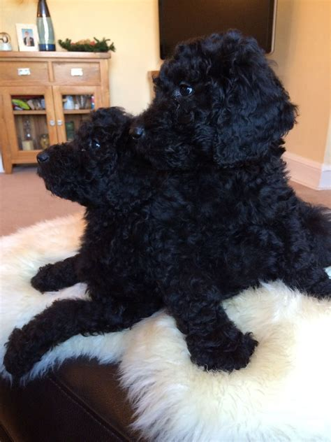 doodle puppies for sale golden doodle puppies for sale shifnal shropshire pets4homes
