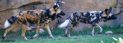 who painted dogs painted valley now home to pair the cincinnati zoo botanical garden