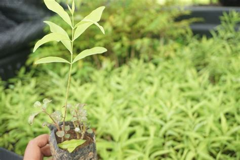 Bibit Pohon Cendana India merintis pengelolaan ekosistem gunung dan laut pasca