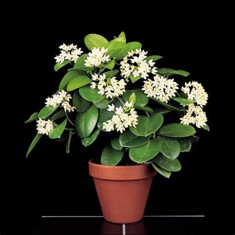 wax plant subspecies hoya australis hoya plants