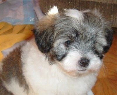coton havanese mix havaton breed information and pictures