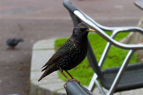 ever wonder how european starlings came to the u s blame