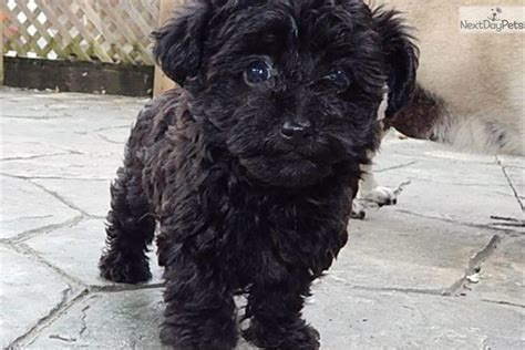 black yorkie poo puppies for sale yorkie poo puppies for sale in indiana breeds picture