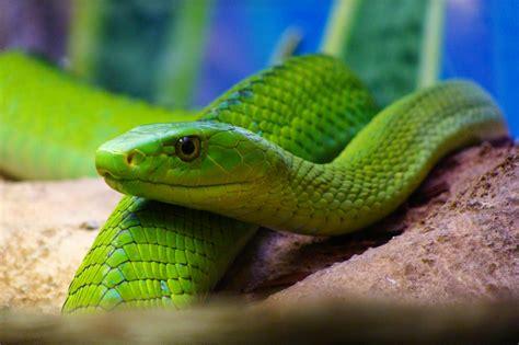 imagenes de serpientes verdes serpientes de africa