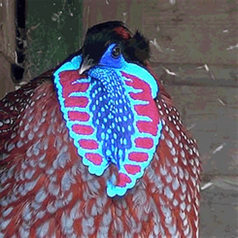because birds temminck s tragopan pheasant look at its
