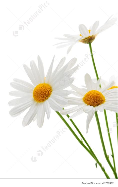 Garden Design Software Free flowers daisies on white background stock picture