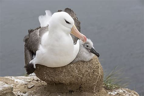 wandering albatross facts worldatlascom