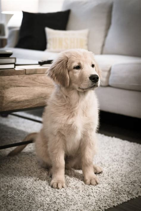 Puppy Golden Retriever golden retriever petsync