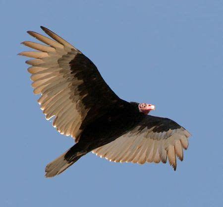 turkey vulture in flight birds pinterest
