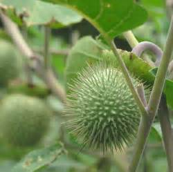 most difficult plants to grow growing davils most dangerous plants on the earth