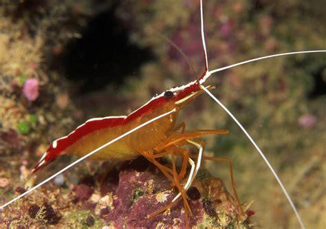 photos of cleaner shrimps anemone shrimp coral shrimps broken back shrimps family hippolytidae